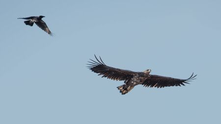 chasing tail: A crow chasing the white-tailed eagle. Uppland, Sweden