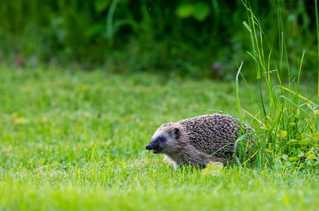 The European hedgehog Erinaceus europaeus: Linnaeus, 1758, also known as the West European hedgehog or common hedgehog, is a hedgehog species found in western Europe, from the Iberian Peninsula and Italy northwards into Scandinavia. It is a generally comm Фото со стока