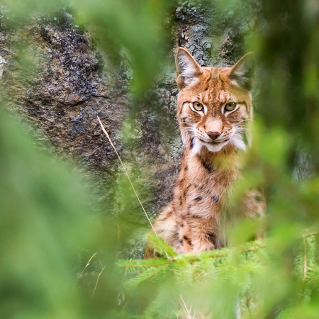 Eurasian lynx Lynx lynx Sweden had an estimated population of about 1400 lynx in 2006 and 1250 in 2011 and they try to keep it on that level.