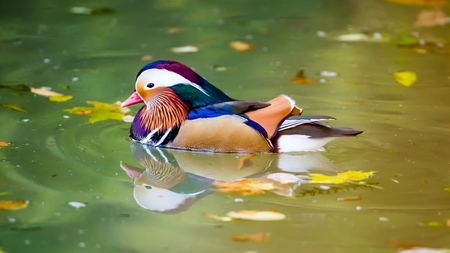 The beautiful male Mandarin Duck Aix galericulata with his typical  colorful plumage with autumn leaves in the water, Uppland, Sweden