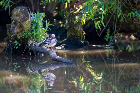 The beautiful male mandarin duck Aix galericulata resting n the shadows