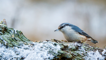 The Nuthatch Sitta europaea  on the snowy piece of wood in Uppland, Sweden