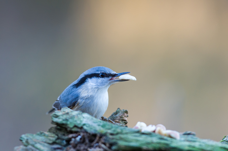 The Nuthatch Sitta europaea with a peanut in the beak with a light defocused background in Uppland, Sweden