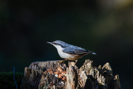 A beautiful Nuthatch Sitta europaea sitting on a stump,