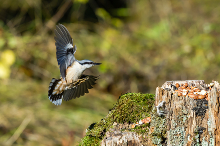 The nuthatch Sitta europaea with peanuts in view is preparing a touch down.