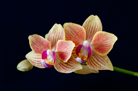 A close up of Moth orchids Phalaenopsis with black background.                           Moth Orchids, Copyrigt 2015 Torbjorn Swenelius Stock Photo