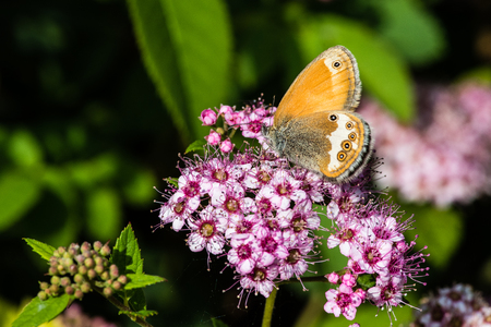 pearly: The Pearly Heath (Coenonympha arcania) is fond of  Spiraea japonica Nana or dwarf Japanese spirea. Stock Photo