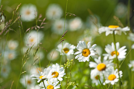 Summer medaow with grass and ox-eye daisy