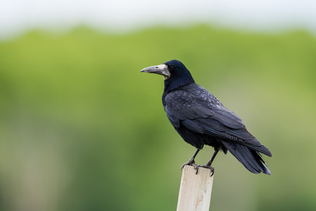 corvidae: The rook Corvus frugilegus is a member of the Corvidae family in the passerine order of birds. Named by Carl Linnaeus in 1758.                     This species is similar in size 4547 cm in length with black feathers often showing a blue or bluish-purple  Stock Photo