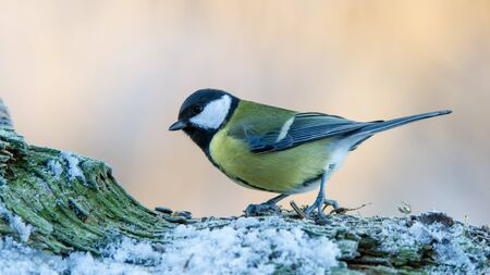 Great Tit Parus major on the snowy wooden fence in Uppland, Sweden Stock Photo