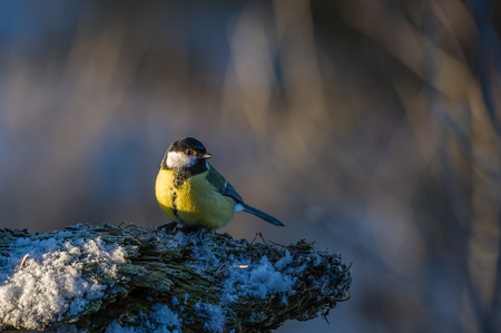 Great Tit Parus major with the sun in the eye a crispy winterday