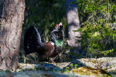 erect: The western capercaillie Tetrao urogallus, also known as the wood grouse, heather cock or capercaillie. The main courting season, this cock   courting on the ground, and postures himself with raised and fanned tail feathers, erect neck, beak pointed skywa