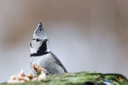 The Crested Tit Parus cristatus  in Uppland, Sweden    Nikon D3s, AF-S Nikkor 3002,8 G ED VR ISO 360 1160sek f4,5 tripod from a hide Stock Photo