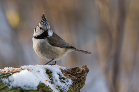 The crested tit  Parus cristatus with the beautiful brown eyes reminds of the brown eyed girl. In Uppland, Sweden