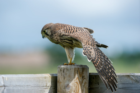 The beautiful juvenile kestrel Falco tinnunculus stretches the wings