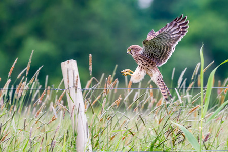 The beautiful juvenile kestrel Falco tinnunculus focused on the difficult landing procedur.