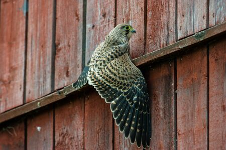 The juvenile kestrel Falco tinnunculus have to learn to fly and specially land, here a splash down in the wall.