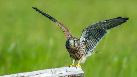 The juvenile kestrel Falco tinnunculus prepare to leave the wooden fence in Uppland, Sweden