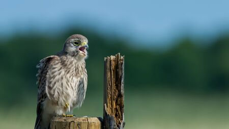 The juvenile kestrel Falco tinnunculus sitting on the wooden fence and call for the mother, in Uppland, Sweden Stock Photo