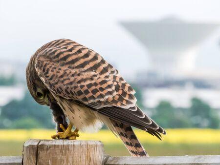 The beautiful juvenile kestrel Falco tinnunculus take breakfast in front of Uppsala water tower.