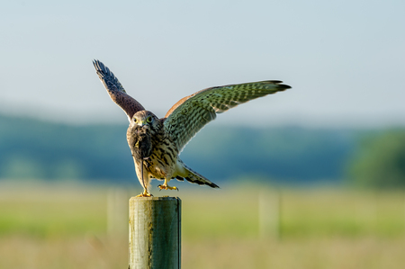 The beautiful juvenile kestrel Falco tinnunculus ready to fly with the latest capture, a vole, in the beak