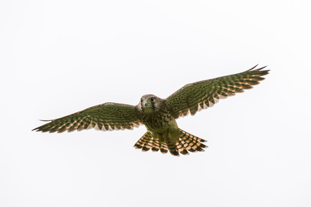 The beautiful juvenile kestrel Falco tinnunculus flying against a cloudy sky. Stock Photo