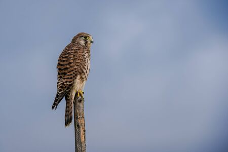 vole: The beautiful kestrel Falco tinnunculus in an usual position when hunting for vole, on top of a roundpole fence