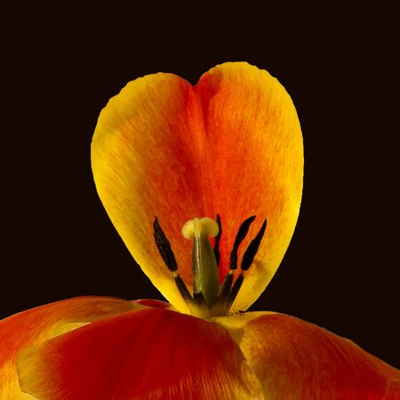 A single tulip petal with the stigma and stamens in foreground as a symbol for love
