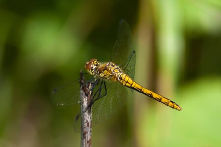 The female Dragonfly Sympetrum waiting for bugs in Uppland, Sweden