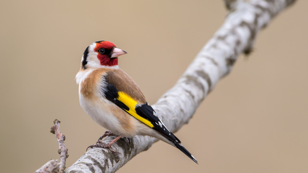 European Goldfinch Carduelis carduelis looking behing for enemies. In Uppland, Sweden