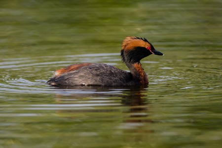 The horned grebe Podiceps auritus is a member of the grebe family of water birds. It is also known as the Slavonian grebe. It is an excellent swimmer and diver, and pursues its fish prey underwater. Wikipedia               The horned grebe is a small greb
