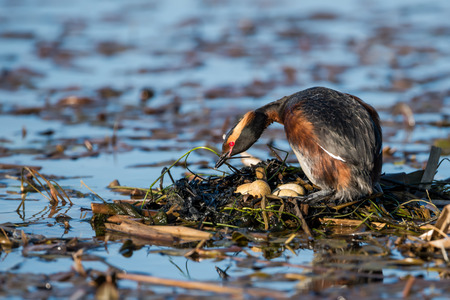 The beautiful horned grebe Podiceps auritus in its breeding plumage with the  beautiful scarlet colored eyes. Brooding and turning the eggs to keep them all warm. Usually they lai two eggs but we have four of them here. Stock Photo