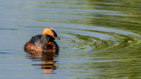 The beautiful horned grebe Podiceps auritus in its breeding plumage with the  beautiful scarlet colored eyes.