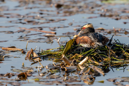 The brooding horned grebe Podiceps auritus on top of the floating nest. Usually two eggs are laid