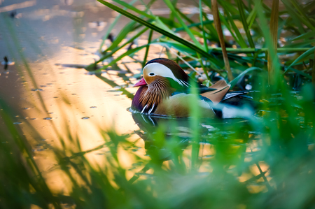 The beautiful male Mandarin Duck Aix galericulata with his typical  colorful plumage enjoy the golden water at the waterside, Uppland, Sweden