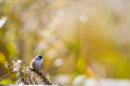 passerine: The bearded reedling Panurus biarmicus is a small, sexually dimorphic reed-bed passerine bird. It is frequently known as the bearded tit, due to some similarities to the long-tailed tit, or the bearded parrotbill. Stock Photo