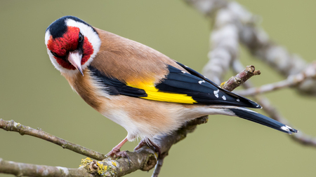 eyes looking down: European Goldfinch Carduelis carduelis looking down from the twig in the oak. In Uppland, Sweden