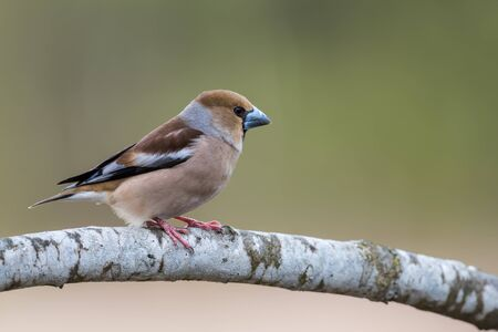 The beautiful Hawfinch Coccothraustes coccothraustes showing his profile on the oak branch with the short tail and big strong beak. Uppland, Sweden