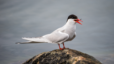 The common tern (Sterna hirundo) perching on a rock in the sea with the latest catch, a fish, in the orange-red bill.