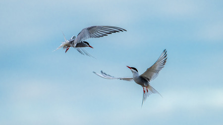 The common tern (Sterna hirundo) flies like dancing in the sky.