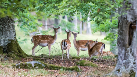 Fallow deers (Dama dama), four does and a young buck resting under the oak leaves in this beautiful woodland scenery.