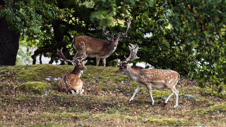 Three fallow deer bucks (Dama dama)  resting under the shadow of the oak with a nice woodland scenery in the background.