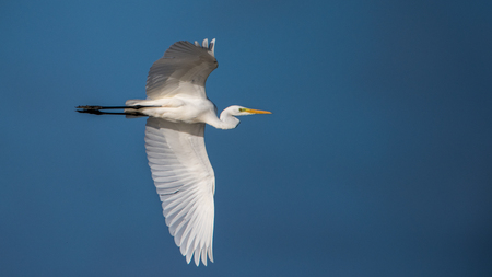 Great Egrets (Casmerodius albus) flight  in the marshland of Hjalstayviken Stock Photo