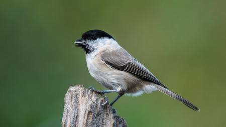 The Marsh Tit (PoecileParus palustris) in profile perching on top of the stump with a green defocused background
