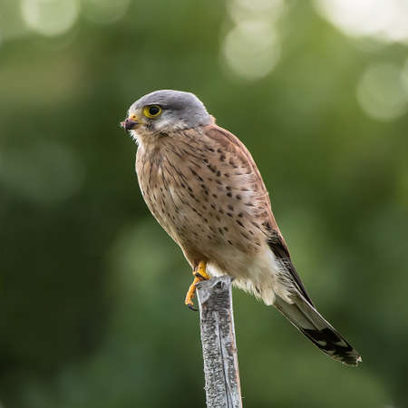 The male Kestrel hunting on top of a round pole to catch a new meal for his nestlings with a nice defocused tree in the background Reklamní fotografie
