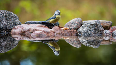 The Blue Tit (Parus caeruleus) looking for food among the stones on the shore with reflections in the watersurface and with a nice defocused background