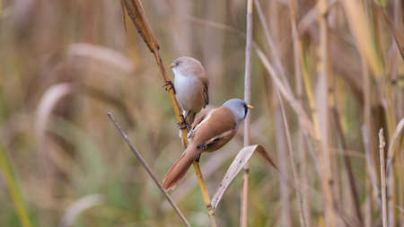 The pair of bearded reedling (Panurus biarmicus) on a straw. The bearded reedling is a small, sexually dimorphic reed-bed passerine bird. It is frequently known as the bearded tit, due to some similarities to the long-tailed tit, or the bearded parrotbill.