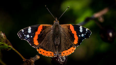 The beautiful red admiral butterfly (Vanessa atalanta) resting in the cherry tree after a meal of cherry. Uppland, Sweden
