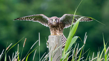 The beautiful juvenile kestrel (Falco tinnunculus) landing on the roundpole with high grass in the foreground and a nice green bokeh in the background. Reklamní fotografie