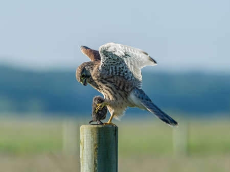The beautiful juvenile kestrel (Falco tinnunculus) landing with the prey on the roundpole with  a nice blue and green bokeh in the background.